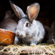 Stock Photo: Cute rabbit popping out of hutch (EuropeRabbit - Oryctolagu