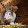 Cute rabbit popping out of a hutch (European Rabbit - Oryctolagu — Stock Photo #17129037