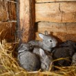 Young rabbits popping out of a hutch (European Rabbit - Oryctola — Stock Photo #17129043