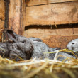 Stock Photo: Young rabbits in hutch (EuropeRabbit - Oryctolagus cuniculu