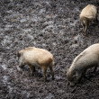 Stock Photo: Wild swines (Sus scrofa)