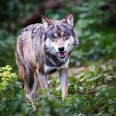 Gray,Eurasian wolf (Canis lupus) — Stock Photo