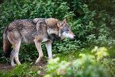 Gray Eurasian wolf (Canis lupus) — Stock Photo