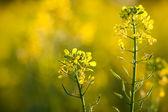 Colza (Brassica rapa) — Stock Photo