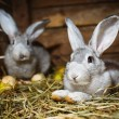 Stock Photo: Young rabbits in a hutch