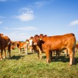 Cows grazing on a lovely green pasture — Stock Photo #19598425