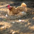 Hen in a farmyard — Stock Photo