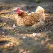 Hen in farmyard — Stock Photo #19598471