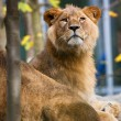 Stock Photo: Close-up portrait of a majestic lioness (Panthera Leo)