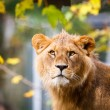 Close-up portrait of a majestic lioness (Panthera Leo) — Foto Stock