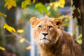 Close-up portrait of a majestic lioness (Panthera Leo) — Stock Photo