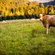 Stock Photo: Cows grazing on a lovely green pasture