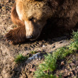 Brown bear — Stock fotografie #22660429