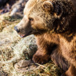 Brown bear — Stock fotografie #22660437