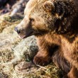 Brown bear — Stockfoto #22660437
