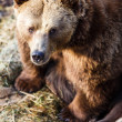 Brown bear — Stock fotografie #22660443