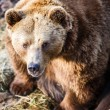 Brown bear — Stockfoto #22660449