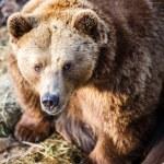 Brown bear — Stock Photo