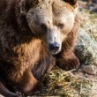 Brown bear — Stockfoto #22660451