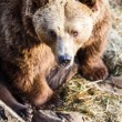 Brown bear — Stockfoto #22660471
