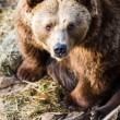 Brown bear — Stockfoto #22660475