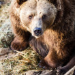 Brown bear — Stock fotografie #22660475