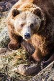 Braunbär — Stockfoto