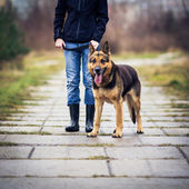 Master and her obedient German shepherd dog — Stok fotoğraf