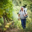 Vintner walking in his vineyard spraying chemicals on his vines - Stock Photo