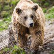 Brown Bear (Ursus arctos) — Stock Photo #25321795