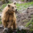 Brown Bear (Ursus arctos) — Stock Photo