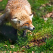Red Fox (Vulpes vulpes) — Stock Photo #25321799