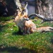 Red Fox (Vulpes vulpes) — Stock Photo