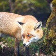 Red Fox (Vulpes vulpes) — Stock Photo #25321821
