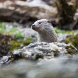 Eurasian otter (Lutra lutra) — Stock Photo