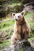 Brown Bear (Ursus arctos) — Stock Photo