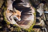 Red Fox (Vulpes vulpes) — Foto Stock
