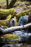 Eurasian otter (Lutra lutra) — Stock Photo