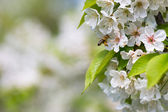 Honey bee in flight approaching blossoming cherry tree — Stock Photo