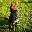 Stock Photo: Cute dog playing, catching toy