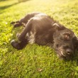 Cute dog lying in the grass in lovely late afternoon sunshine sh — Stock Photo