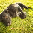 Cute dog lying in the grass in lovely late afternoon sunshine sh — Stock Photo #35751759