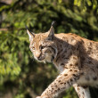 Stock Photo: EurasiLynx (Lynx lynx)