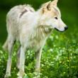 Arctic Wolf (Canis lupus arctos) akPolar Wolf or White Wolf - — Stock Photo #35752817