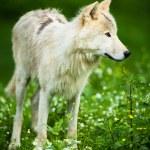 Arctic Wolf (Canis lupus arctos) aka Polar Wolf or White Wolf - — Foto de Stock