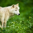 Arctic Wolf (Canis lupus arctos) akPolar Wolf or White Wolf - — Stock Photo #35752869
