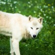 Stock Photo: Arctic Wolf (Canis lupus arctos) akPolar Wolf or White Wolf -