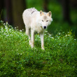 Arctic Wolf (Canis lupus arctos) aka Polar Wolf or White Wolf - — Stock Photo