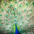 Splendid peacock with feathers out — Stok fotoğraf