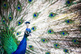 Splendid peacock with feathers out — Stock Photo